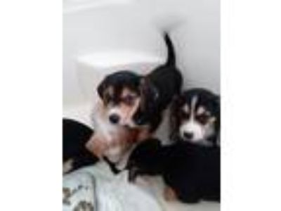 Adopt Sprocket a Beagle