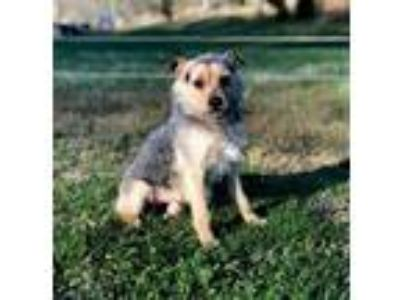 Adopt SULLY a Black - with Tan, Yellow or Fawn Wirehaired Fox Terrier / Mixed