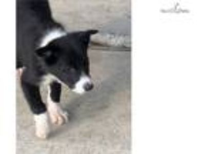 AKC and ABCA border collie puppy