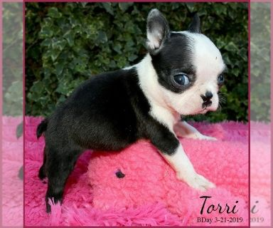 Boston Terrier PUPPY FOR SALE ADN-129286 - Torri AKC
