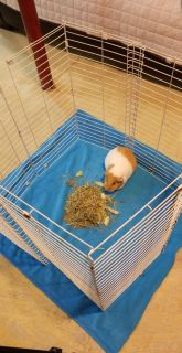 Looking for a possible companion for my female guinea pig.