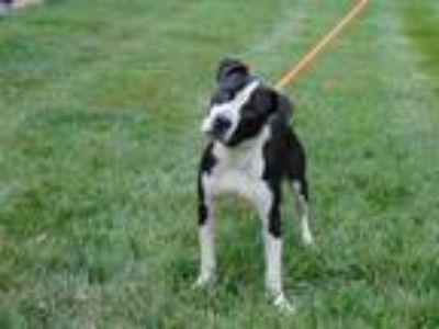 Adopt LOU a Black - with White American Pit Bull Terrier / Mixed dog in