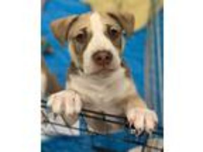 Adopt POTUS (puppy of the united states) a Cattle Dog