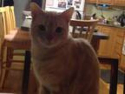 Adopt Melvin a Tan or Fawn (Mostly) Domestic Shorthair / Mixed cat in Gorham
