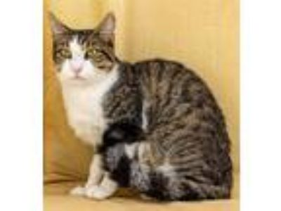 Adopt Snickers a Domestic Shorthair / Mixed (short coat) cat in LAFAYETTE