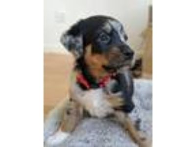 Adopt *Twix* Puppy a Australian Cattle Dog / Blue Heeler