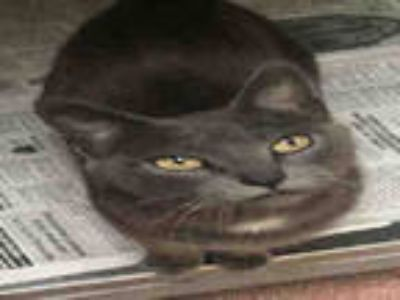 Adopt GWEN a Gray or Blue (Mostly) Russian Blue / Mixed (short coat) cat in