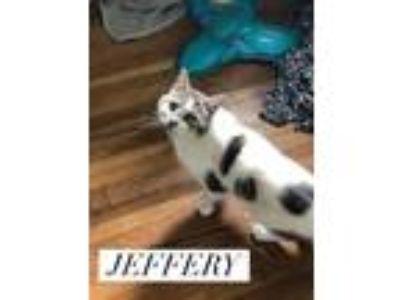 Adopt Jeffrey a Domestic Short Hair