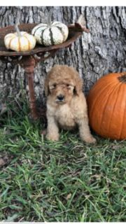 Goldendoodle-Poodle (Standard) Mix PUPPY FOR SALE ADN-102514 - Beautiful goldendoodle puppies ready Nov 1st