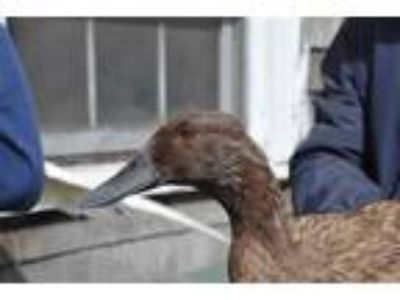 Adopt ROSIE a Brown Duck / Mixed bird in Methuen, MA (25331514)