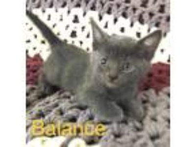 Adopt Balance a Gray or Blue Domestic Shorthair (short coat) cat in Toms River