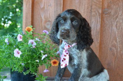 English Springer Spaniel PUPPY FOR SALE ADN-83678 - Gorgeous AKC English Springer Spaniel Puppies