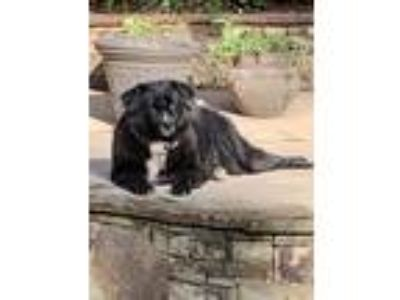 Adopt Gaby a Black - with White Newfoundland / Flat-Coated Retriever dog in