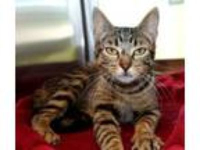 Adopt Purla a Domestic Short Hair