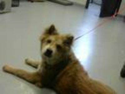 Adopt PRINCESS a Brown/Chocolate Chow Chow / Mixed dog in Fayetteville