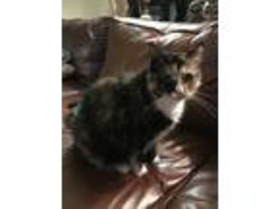 Adopt Buttercup a Calico or Dilute Calico Domestic Mediumhair / Mixed cat in