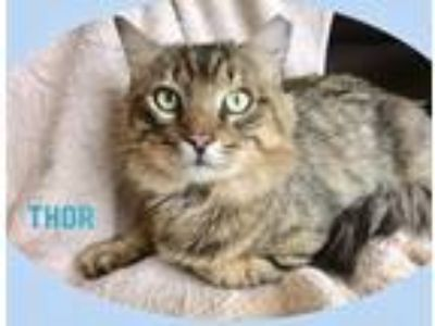 Adopt Thor a Brown Tabby Maine Coon / Mixed (medium coat) cat in Fort
