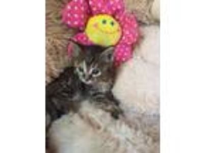 Adopt Lila a Maine Coon, Domestic Short Hair
