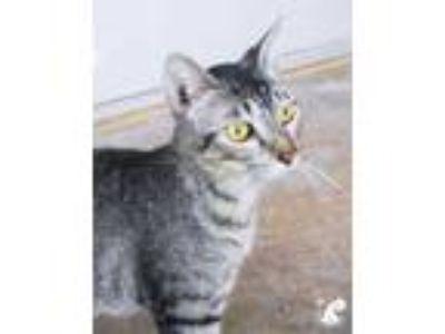 Adopt Arlinn a Brown or Chocolate Domestic Shorthair / Domestic Shorthair /