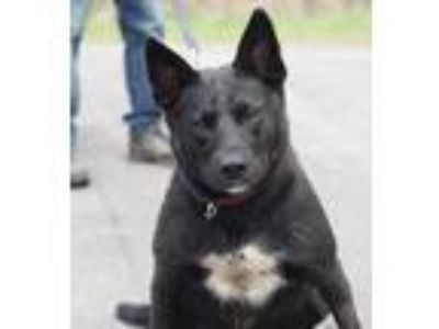 Adopt Tucker a Cattle Dog, Labrador Retriever