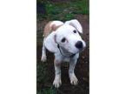 Adopt Jackie a White - with Tan, Yellow or Fawn Great Pyrenees / Shepherd