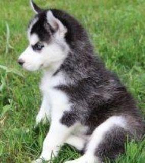 Hjhnj Blue Eyes Siberian Husky Puppies.
