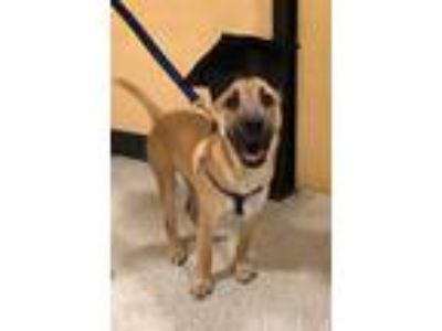 Adopt Reggie a Tan/Yellow/Fawn - with Black Golden Retriever / Boxer / Mixed dog