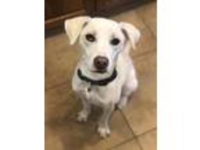 Adopt Maverick a White Labrador Retriever / Mixed dog in Rockwall, TX (25880582)