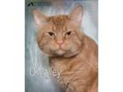 Adopt O'Malley a Domestic Short Hair