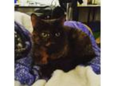 Adopt Muffin a Tortoiseshell American Shorthair cat in San Francisco