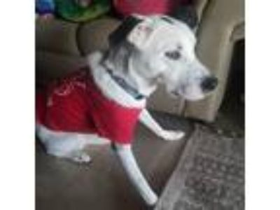 Adopt Maggie a White - with Black Border Collie / Labrador Retriever dog in