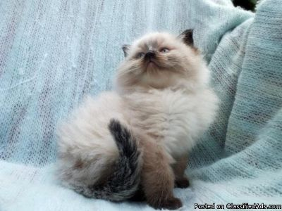 litter trained wormed ragdoll kittens for sale