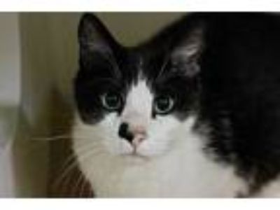 Adopt MAJOR BOSE a White (Mostly) Domestic Shorthair / Mixed (short coat) cat in