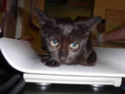 Adopt *PLUNGER a All Black Domestic Shorthair / Mixed (short coat) cat in Long