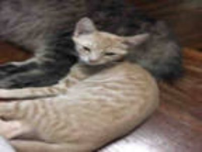 Adopt TURTLE a Tan or Fawn Tabby Domestic Shorthair / Mixed (short coat) cat in