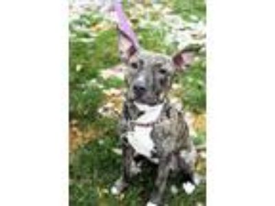 Adopt Milky Way-MISSING a Brindle - with White Shepherd (Unknown Type) / Mixed