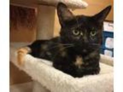 Adopt Sabrina -- LAP CAT TORTIE a Tortoiseshell Domestic Shorthair / Mixed