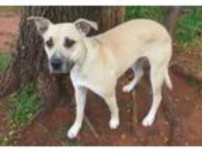 Adopt BLONDIE 304217 a Black Mouth Cur