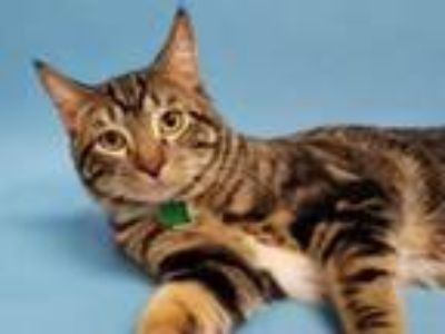Adopt Cosmo a Domestic Short Hair, Maine Coon