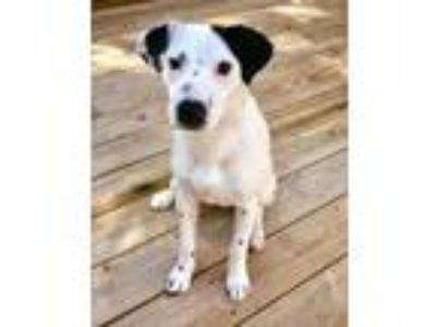 Adopt CJ a Border Collie, Hound