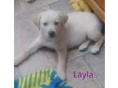 Adopt Layla a Labrador Retriever, Golden Retriever