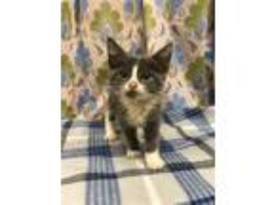 Adopt NORA a Gray or Blue (Mostly) Domestic Shorthair / Mixed (short coat) cat