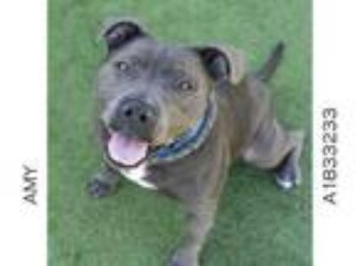 Adopt AMY a Mixed Breed, Pit Bull Terrier