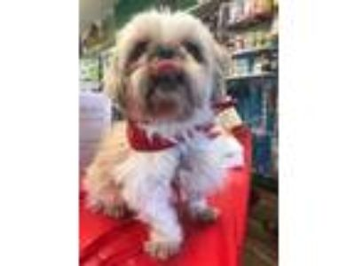 Adopt Sparkles a Shih Tzu / Mixed dog in Grafton, WI (25885290)