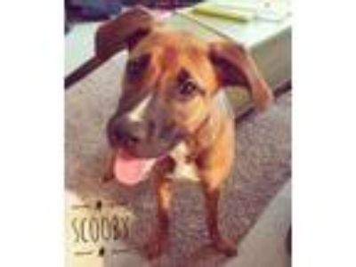 Adopt Scooby a Black Mouth Cur, Hound
