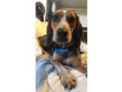 Adopt Bluebell a Black - with Tan, Yellow or Fawn Beagle / Mixed dog in