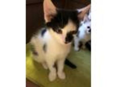 Adopt 1 Kitten part of 2019-09 a Domestic Shorthair / Mixed (short coat) cat in