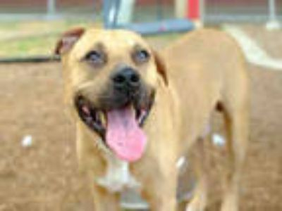 Adopt LONNIE a Tan/Yellow/Fawn - with White American Pit Bull Terrier / Mixed