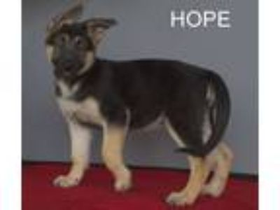 Adopt Hope a German Shepherd Dog