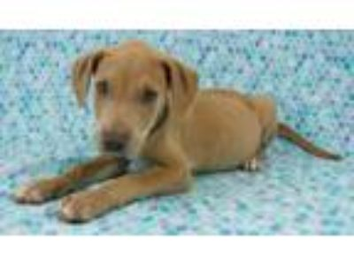 Adopt Prince Charming a Weimaraner, Pit Bull Terrier